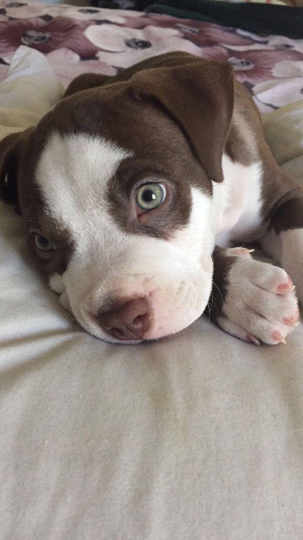 Best 10 Cute Pitbull Puppies Ideas On Pinterest Cute