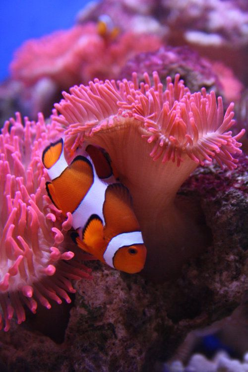 """Anemonefish hiding in it's sea anemone. A small girl kept saying """"look mommy it's fino Nemo"""", not being able to pronounce it correctly yet."""