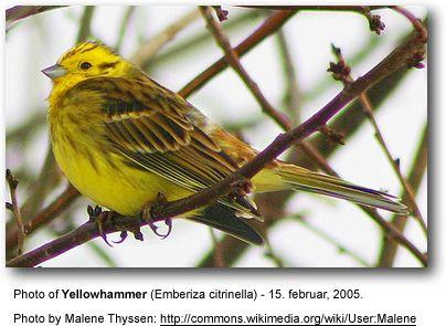 alabama song birds | Yellowhammers, Emberiza citrinella