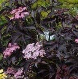 18 best images about garden shrub sambucus on pinterest. Black Bedroom Furniture Sets. Home Design Ideas