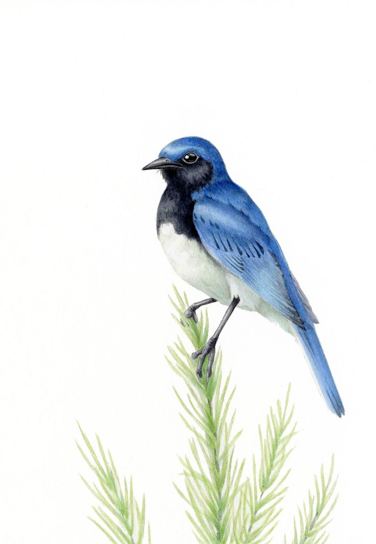 Blue-and-White Flycatcher : Acrylic オオルリ:アクリル絵具