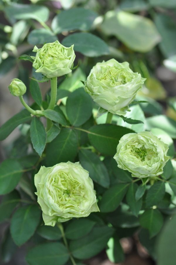 'La terre Verte' | Hybrid Tea Rose. Production in 2009 Japan Kimura TakuIsao production