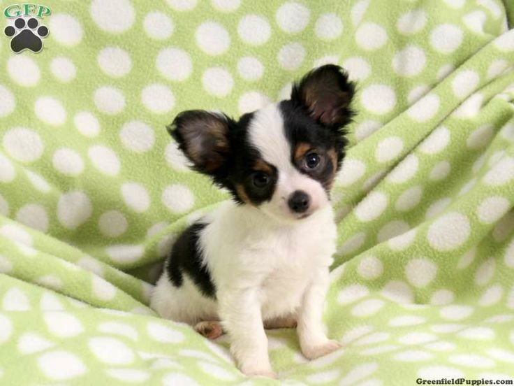 chihuahua for sale in pa 17 best images about stuff to buy on pinterest micro 298