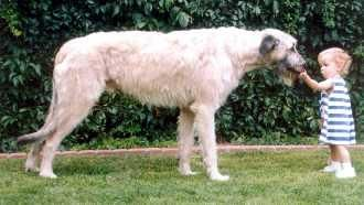 Irish Wolfhound.  If I could have a dog, I'd get one of these.