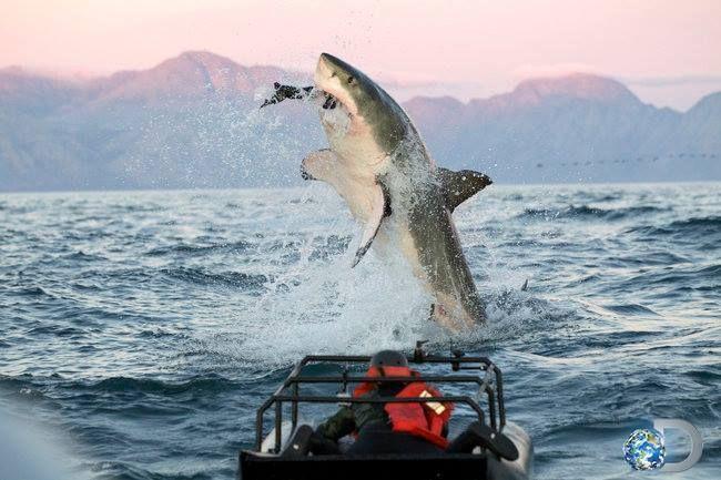 shark week deadliest shark countdown - Google Search