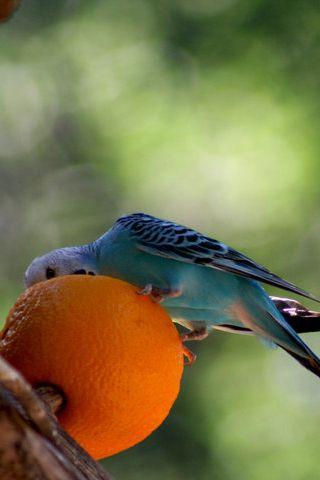 Parrot Orange Android Wallpaper HD Parrot Orange Android Wallpaper HD