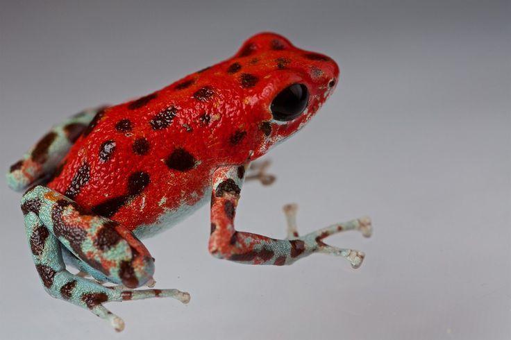 "Strawberry poison arrow frog (Oophaga pumilio) ""Bastimentos"" morph red colour form"