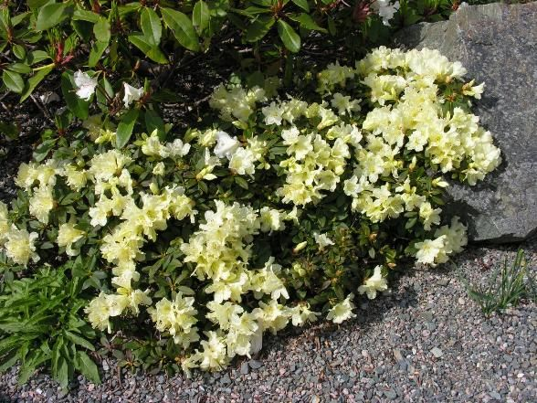 Rhododendron keiskei Patty Bee - Поиск в Google