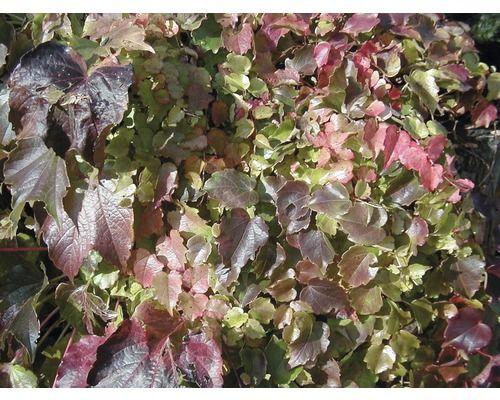 Wilder Wein Parthenocissus tricuspidata 'Veitchii' 100-125 cm