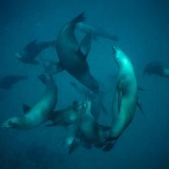 Sea lions playing in the ocean.   For more info about animals found at beaches and in tide pools, see: http://www.infobarrel.com/Vertebrate_Species_in_Tide_Pools_at_Southern_California_Beaches
