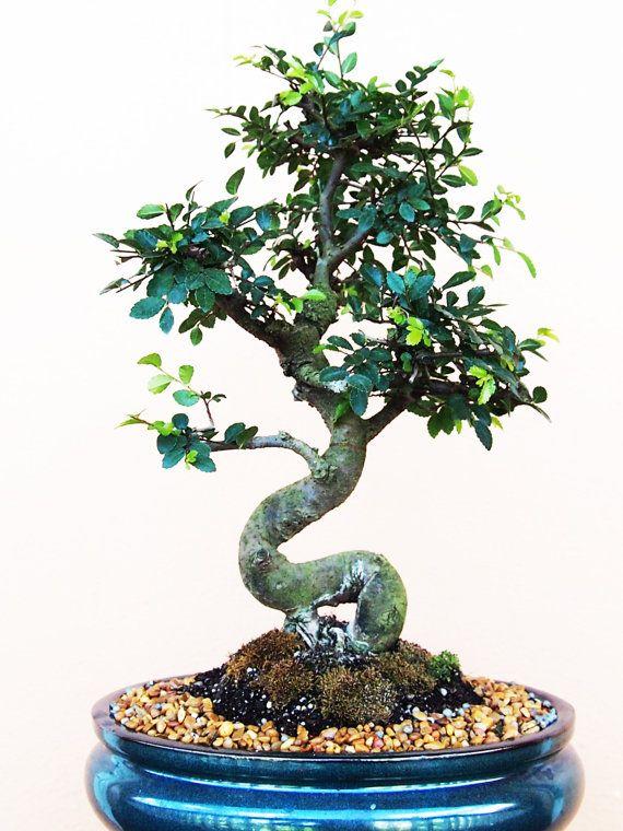 Beautiful Japanese Elm