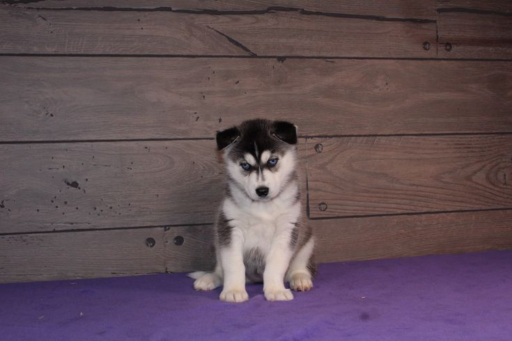 Haley AKC Siberian Husky female pup for sale in Nappanee