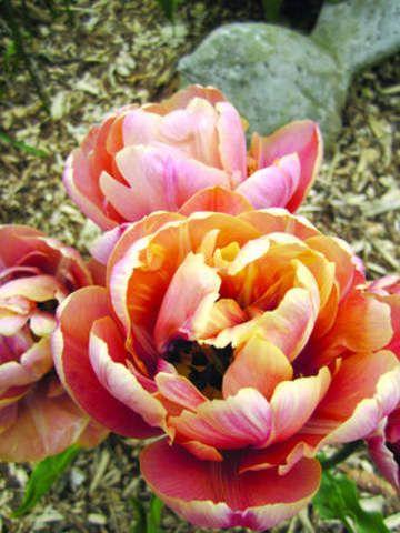 Tulipa - La Belle Epoque - Tulip Bulbs for sale