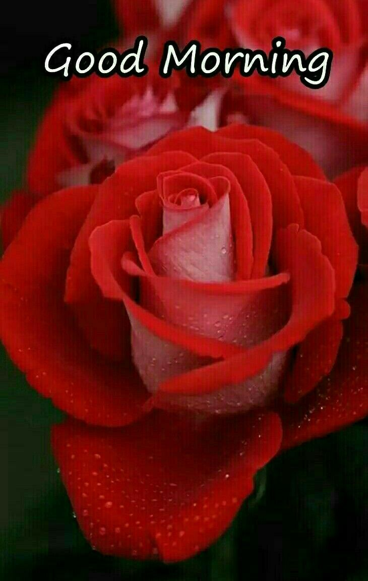 Pin By Mehak Khanna On Morning Quotes Good Morning Roses Good Morning Good Morning Greetings