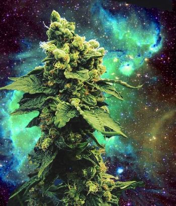 Lights, Nutrients, Flower: Cannabis Yield Determined by Lights not PGR's