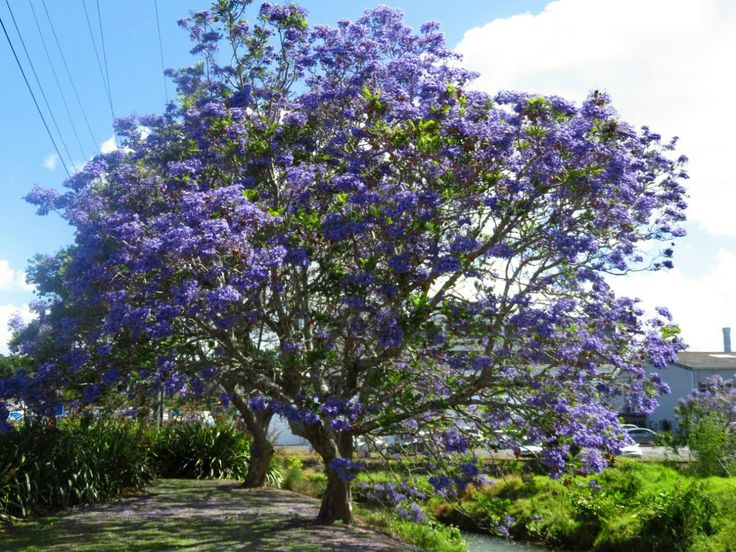JACARANDA ( Жакаранда или Палисандровое дерево)...