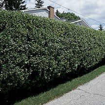 Cheyenne privet. This fast growing hedge has glossy, deep green foliage that remains until late fall. Preferring full to partial sun, this fast growing hedge will grow into a heavily branched, dense plant, making it a very good windbreak or privacy screen. This fast growing hedge is hardy in zones four through eight.
