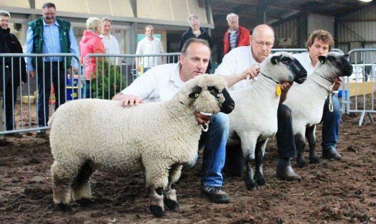 Dag kampioen drietal 2013: ooilam / jaarling ooi, oudere ooi.