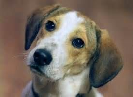 In 1928 it won a number of prizes at the Westminster Kennel Club's show and by 1939 a Beagle - Champion Meadowlark Draughtsman - had captured the title of top-winning American-bred dog for the year.