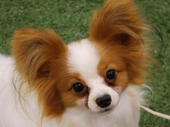 Papillon Dogs Facts Top 10 Papillon Facts You Should Know In 2020 Papillon Hund Papillon Welpen Hunderassen