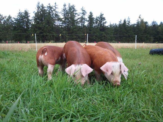 pigs: Hereford Hog