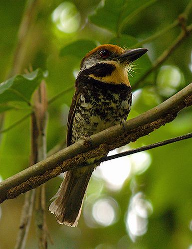 BUCCONIDAE - Bucco tamatia - Spotted puffbird - Bobo moteado 14CMS-96DPI   por Reserva Natural Palmari - Official site