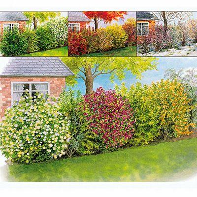 Arbustes pour haie des 4 saisons      Chaque saison, les 6 variétés qui composent cette Haie des 4 Saisons colorée transformeront votre jardin. La Haie des 4 Saisons fleurit de février à fin septembre, puis en automne, elle se couvrira de baies pour les oiseaux et de belles couleurs automnales.     Cette haie est composée de :     - 2 tamaris (Tamarix ramosissima) belle ramure de fleurs roses de juillet à septembre     - 2 mimosa de paris (Forsythia x intermedia 'Spectabilis' ) fleurs dor