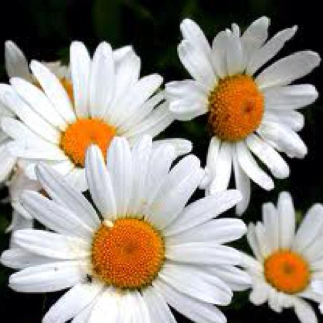 I love daisy Wildflower seeds, Flower seeds, Planting bulbs