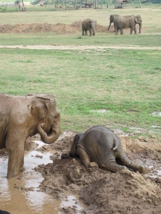 """Baby elephants throw themselves into the mud when they are upset, like a temper tantrum."" Too funny!"