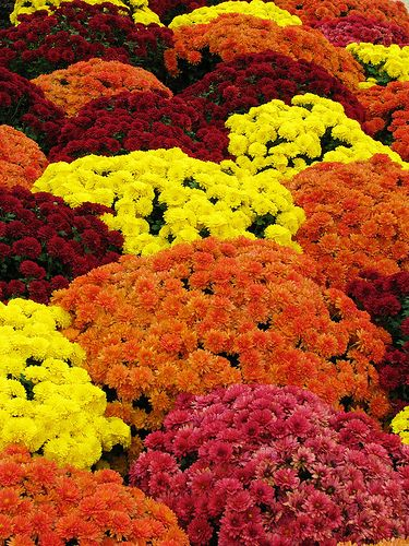 autumn flowers - mums I keep hoping to get varigated plants so I cna have all these colors together in one plant.