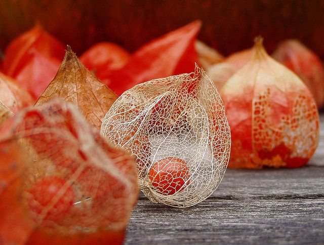 46 best images about physalis l 39 amour en cage alk kenge on pinterest the winter seeds - Fruit cage d amour ...