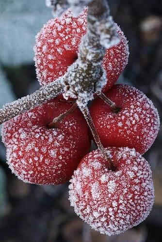 frosted crab apples