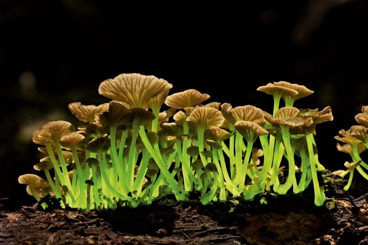 Les 25 meilleures id es de la cat gorie champignon comestible sur pinterest les champignons - Champignon qui pousse sur les arbres ...