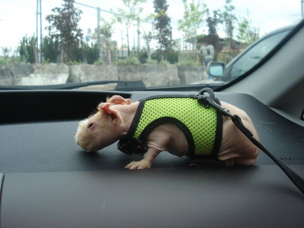20 best skinny pigs images on pinterest skinny pig guinea pigs skinny pighairless guinea pig on leash publicscrutiny Image collections