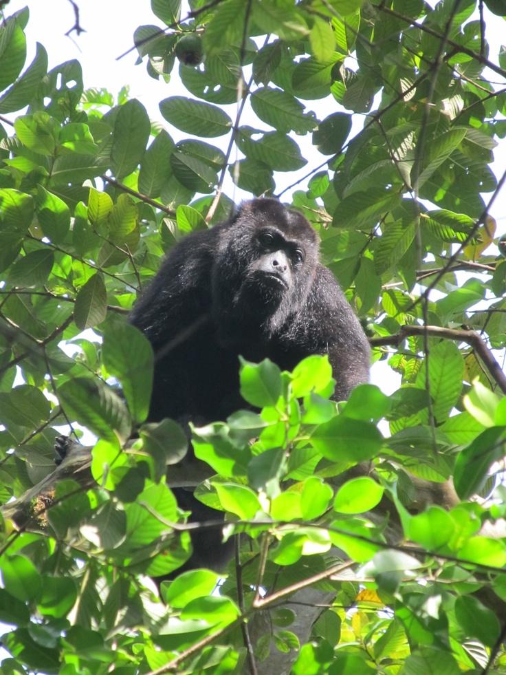 Mono Saraguato Ahuyador, Chiapas. http://mexigo.mx/portfolio/chiapas_desconocid/