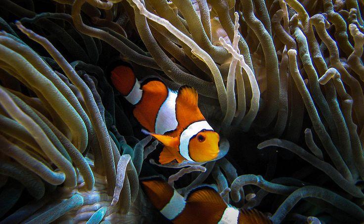Clown fish nemo anemone