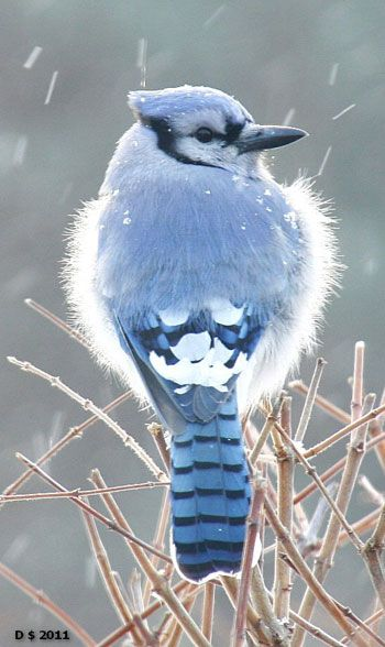 Bluejay in the falling snow