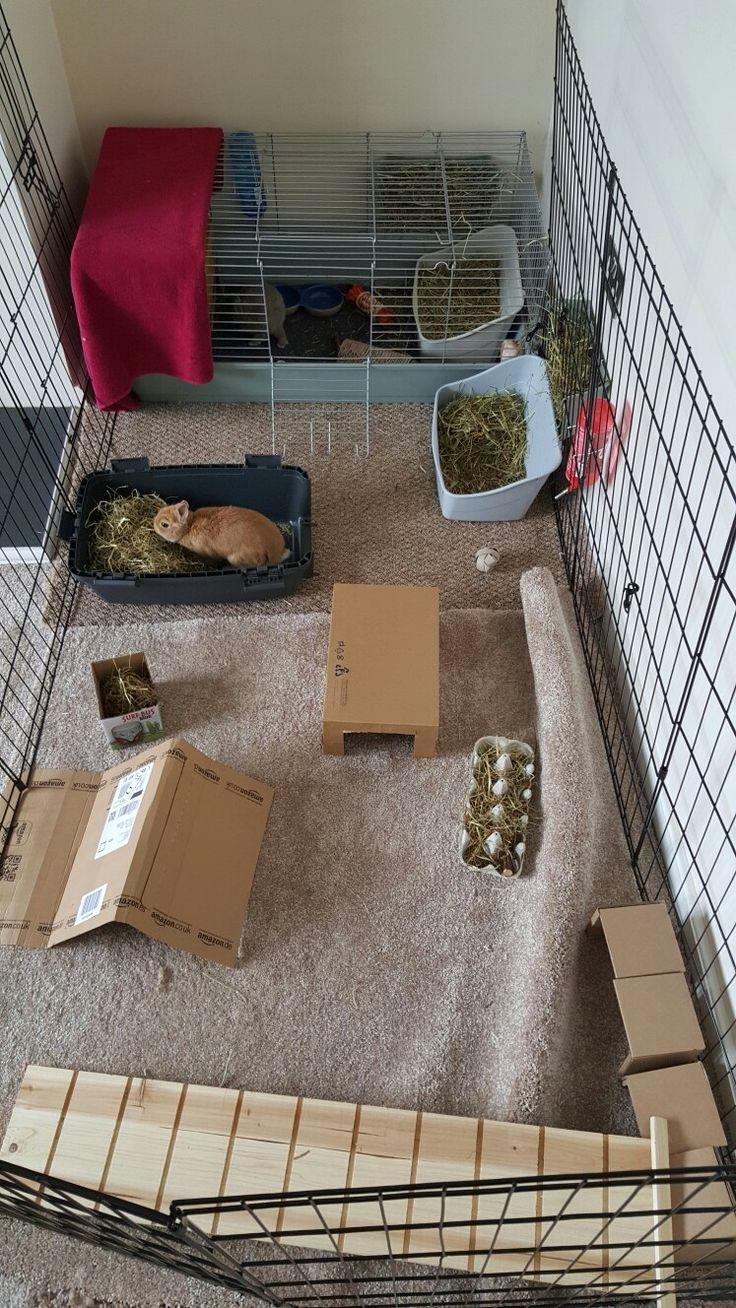 Netherland dwarf bunnies play run area and toys