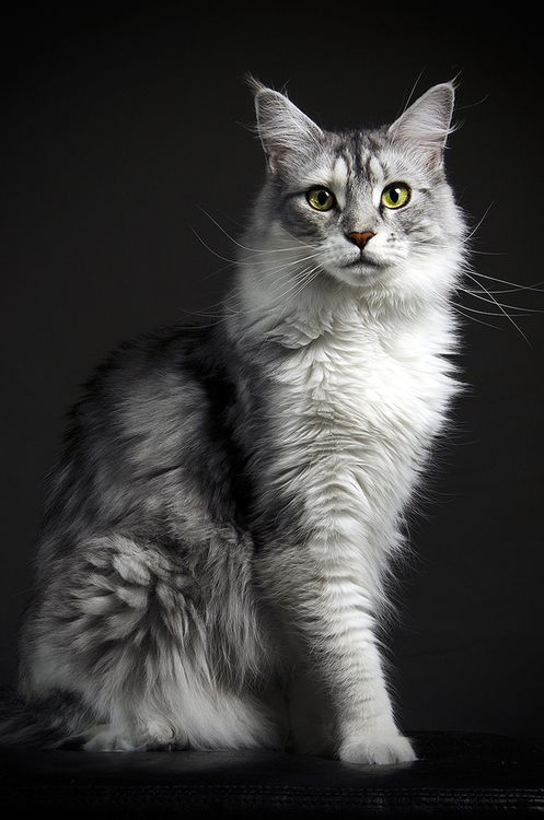 Maine Coon cat. Early settlers in Maine thought because of their luxuriant bushy tails they had crossbred with raccoons. Obviously they hadn't, because a) it's genetically impossible and b) raccoons are far too uncouth.