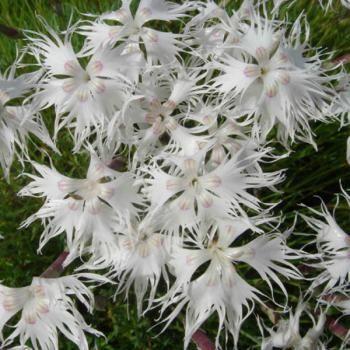 Dianthus arenarius - Oeillet des sables floraison juillet à septembre H25cm