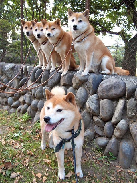 Im gonna be the crazy shiba dog lady someday with my pack!