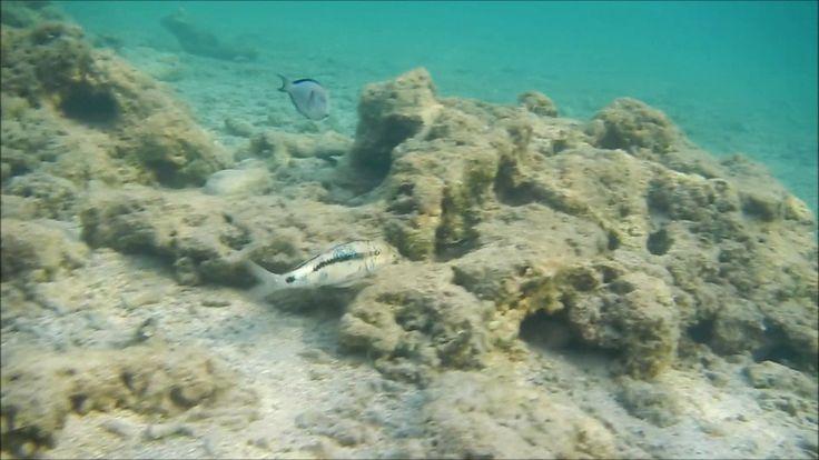 каталог рыб красного моря, барабуля  красноморская зубатая, Parupeneus f...