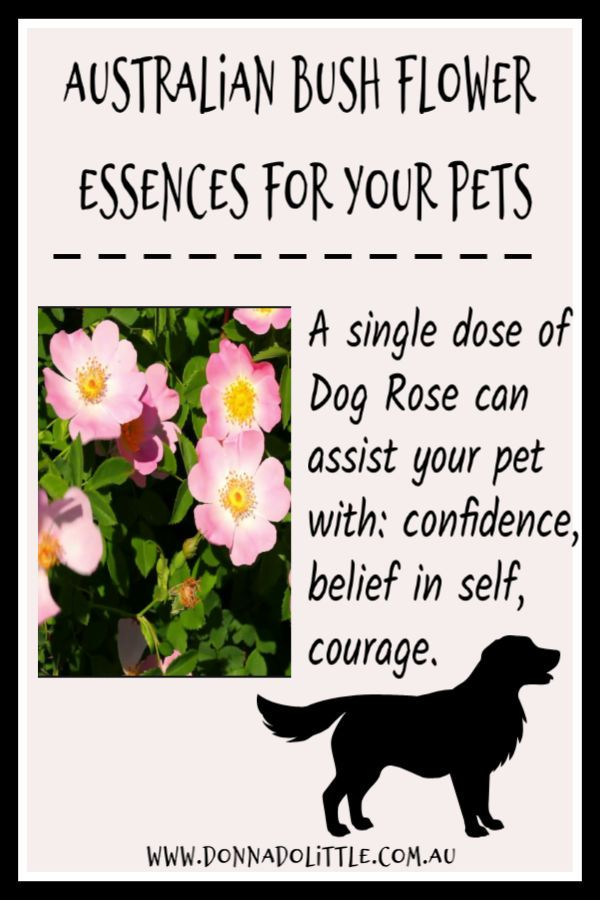 Australian Bush Flower Essences Dog Rose Can Assist Your Pet With Confidence Belief In Itself And Courage Flower Essences Australian Bush Essence