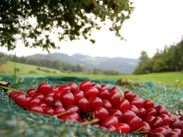"Lower Austria's beautiful valley in the Mostviertel region invites you to learn all about sustainable horticulture and the processing of fruits and herbs, with the most renowned feature being the production of its ""Dirndl""cherries."