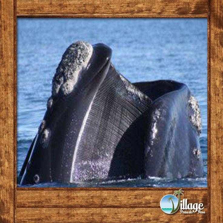"""As baleias alimentam-se """"filtrando"""" o alimento na superfície, num comportamento que se assemelha ao arrasto superficial de uma rede, em que o animal nada lentamente com a boca aberta, deixando a água fluir por entre as cerdas expostas que capturam aí os pequenos organismos que constituem seu alimento."""