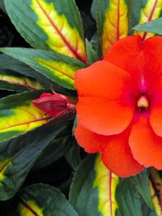 Impatiens Painted Paradise  // Great Gardens & Ideas //