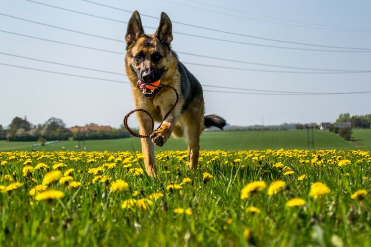 Spor, lydighed og hygge | Et hundeliv - Skriblerier om en Schæferhund