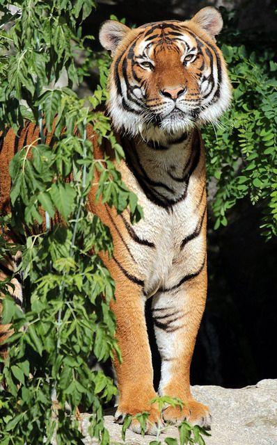 Indochinese tiger Berlin Tierpark JN6A5394 | by j.a.kok