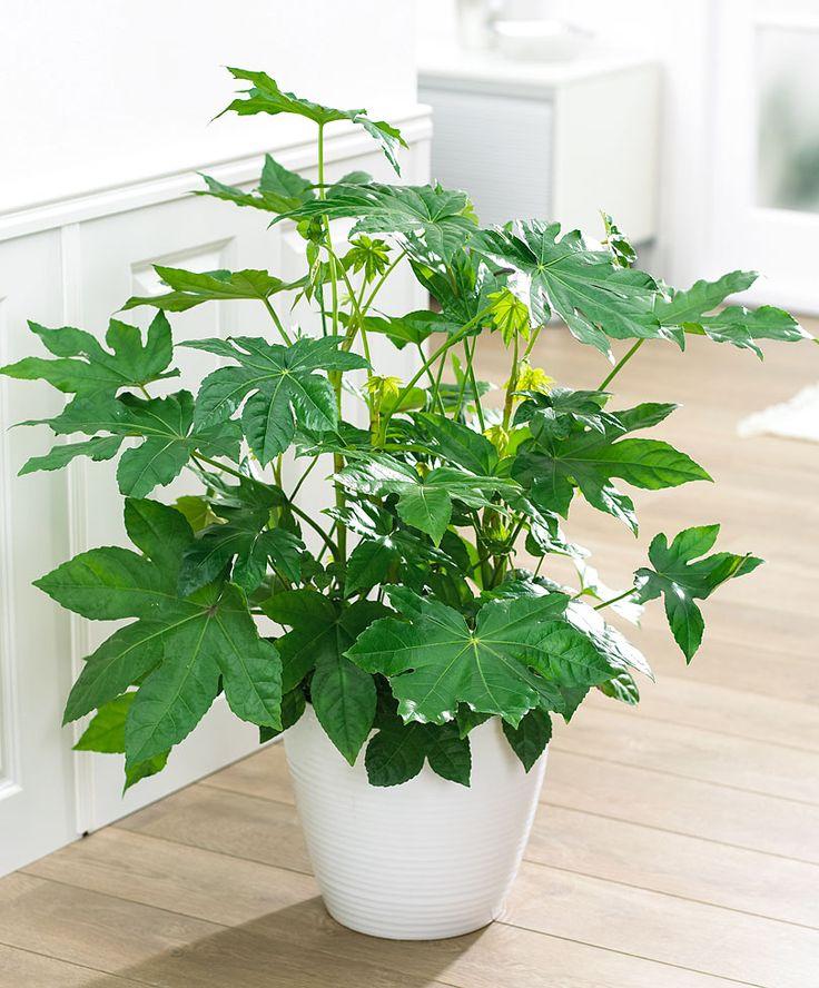 34 Best Ming Aralia Polyscias Plants Images On Pinterest