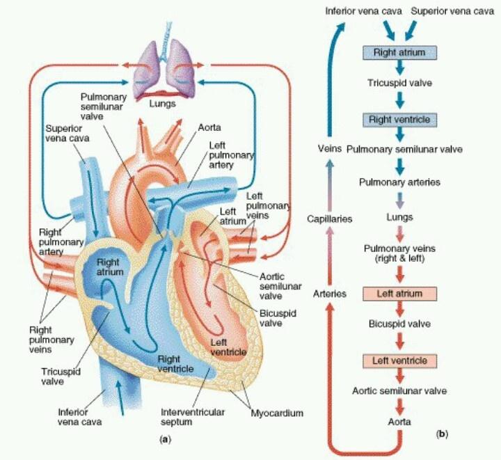 Blood Flow Through Heart Diagram   Pin By Terri Mize On For Katie Cardiac Nursing Heart Blood Flow